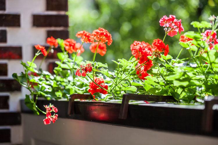 Blütenpracht auf dem Balkon – ideale Sorten für ein Pflanzenparadies auf kleinem Raum
